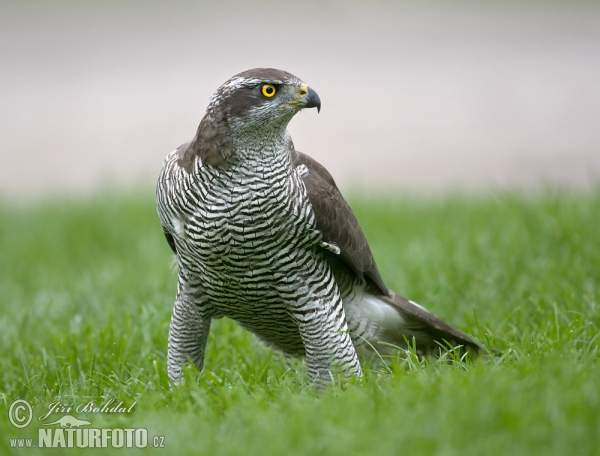 阿嬤這不是雞啦!院子傳出吵鬧聲,一走出去驚見阿嬤「徒手抓猛獸」超霸氣!網:阿嬤果然是地表最強生物