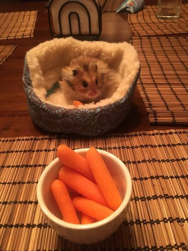 她買了一張床給倉鼠,從此倉鼠「跟著主人一起冒險」網友都羨慕到不行!