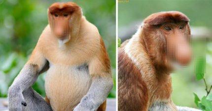 尺寸hen重要!這個猴子擁「GG一樣的鼻子」光溜溜超害羞,專家發現:「鼻子越巨大」約炮成功率UPUP!