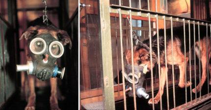 上千隻狗狗被用來「測試生化武器」!狗狗被迫「帶防毒面具」一直走跑步機,走到更可怕的事發生為止...(圖片慎入)