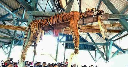 「極度瀕危蘇門答臘虎」遭無知村民迷信割開內臟,整隻「虎乾屍」懸掛樑上炫耀:我們是殺掉惡魔分身!