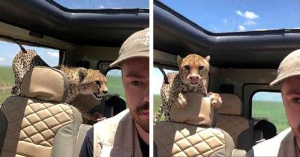 非洲旅行獵豹突闖進車內「伸爪盯著他脖子猛看」嚇尿,0:20「獵豹超萌反應」融化全網路!(影片)