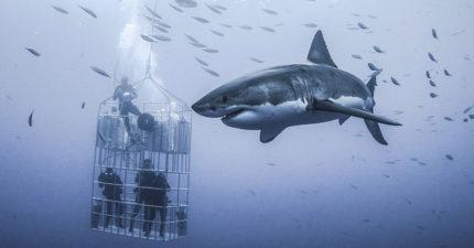 6米長巨鯊環繞潛水員,他花了整整3天才拍到最驚悚完美畫面!