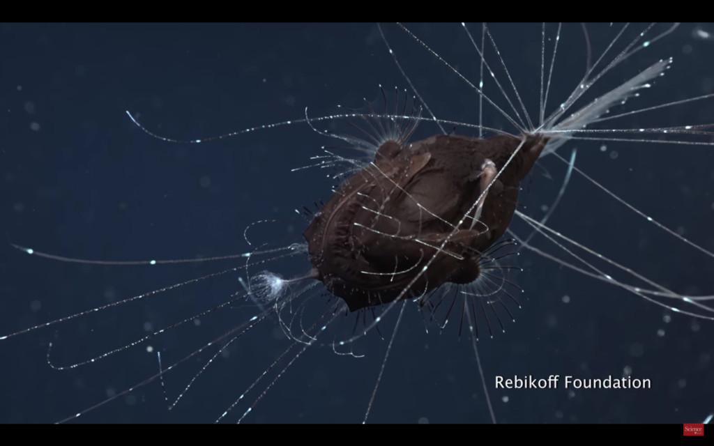 超罕見「鮟鱇魚%%畫面」首次曝光!公魚慘被吸到「整條魚只剩生殖器」 身體都沒了...(影片)