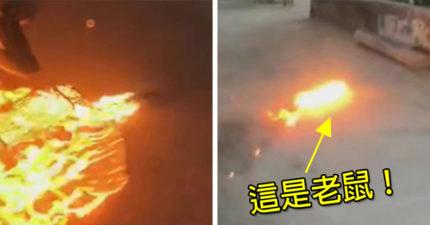 自以為神奇寶貝大師!點火燒爛排水孔,「火球鼠」遭凌虐垂死竄出...網友吉爆:怎不這樣燒你媽?