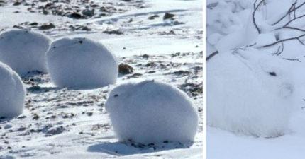毛茸茸大福佈滿雪地 「一站起來」卻變身長腿草泥馬!