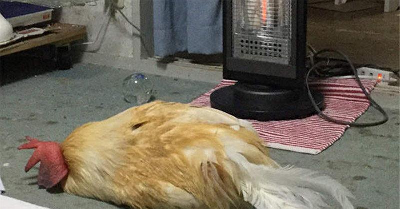 主人發現寵物雞「睡在暖爐前」過陣子查看驚覺「很不對勁」...網:悲劇了