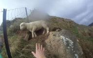小羊被卡住他努力救援 但「獲救後畫面」讓網友笑到很內疚
