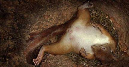 攝影機意外拍下「松鼠生產過程」 寶寶一個個蹦出全網看到哭了