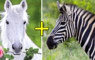 白馬和斑馬的「孩子」會長怎樣?網一看:根本神獸!