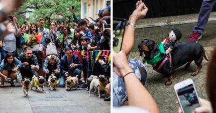 短腿狗狗賽跑大賽!一喊衝「巴哥VS臘腸狗」畫面太傻萌