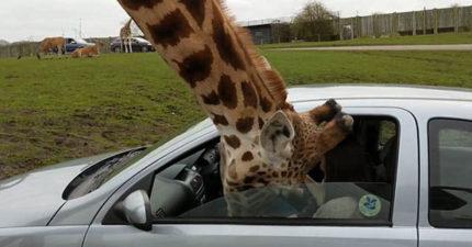 長頸鹿突然「伸入車內」想討食物,結果下秒「頭被夾住」車窗玻璃整塊爆開!(影片)