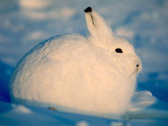 「北極兔大福」毛茸茸佈滿雪地超可愛 「一站起來」卻讓網嚇壞:根本超模長腿