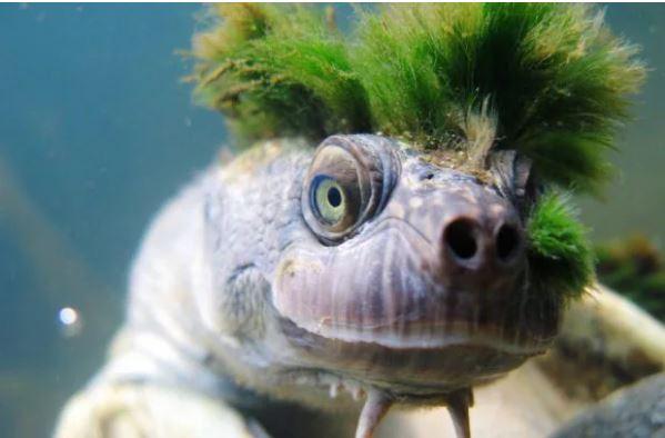 天生戴綠帽,「世上最潮綠髮龐克頭」龜面臨絕種,超稀有「用生殖器呼吸」物種將消失...