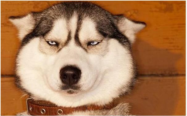 悲催哈士奇第一次見母狗 被打槍躲主人懷抱大哭:女人啊