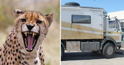 情侶夜遊南非「踩到獵豹地盤」 拖出男友守整夜獵物...車體全是抓痕嚇壞救命車