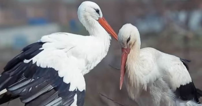 超專一鸛鳥每年飛1.4萬公里 只為見受傷愛人一面