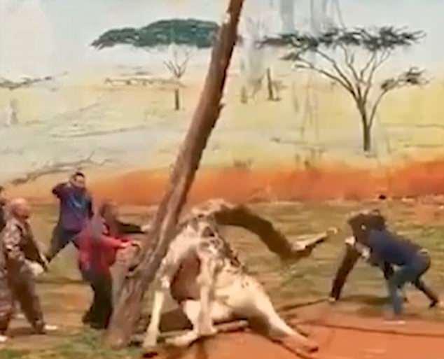 長頸鹿「用樹抓癢」結果被活活卡住,管理員前來救援「拔出脖子一刻」最恐怖的事就發生了...(影片)