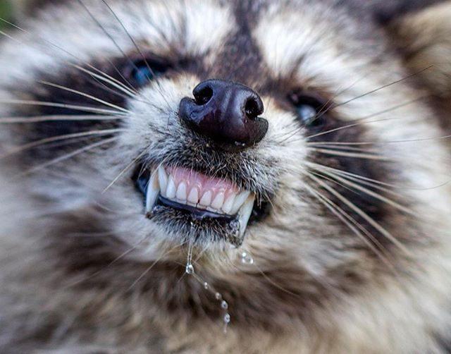 「殭屍浣熊」入侵美國!恐怖病毒「齜牙裂嘴昏迷後又醒」警方已接獲十幾通報案:他們完全不怕人類