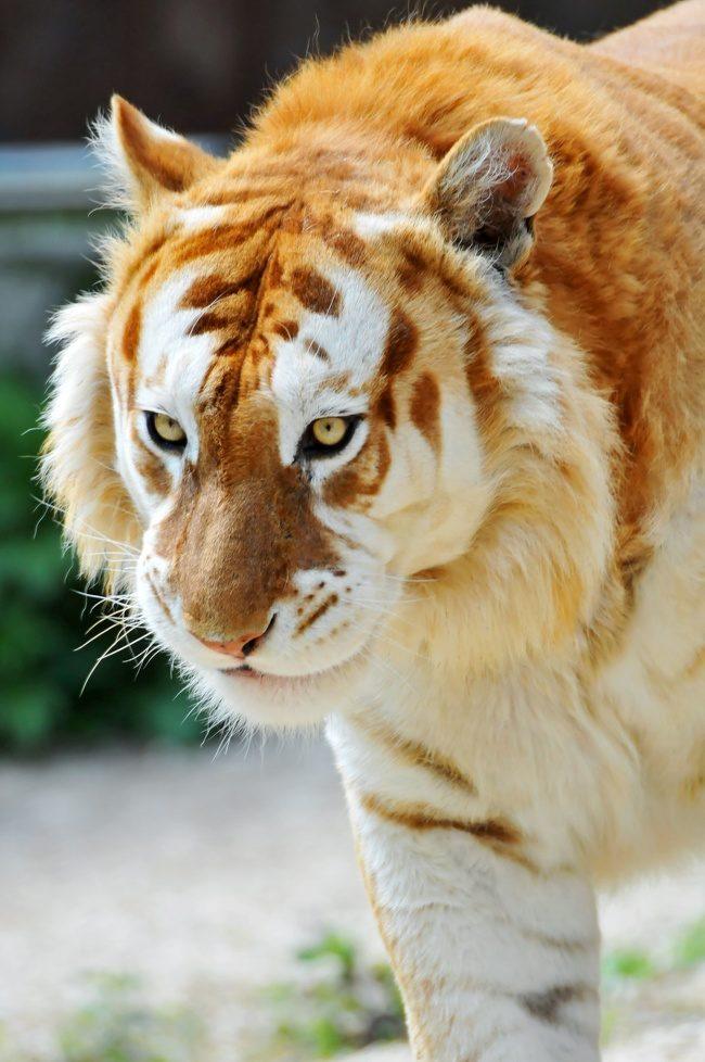 16張「一生能看到一次就已經是超級幸運」的極度罕有畫面。仙氣爆表「金老虎」世界上只有30隻!