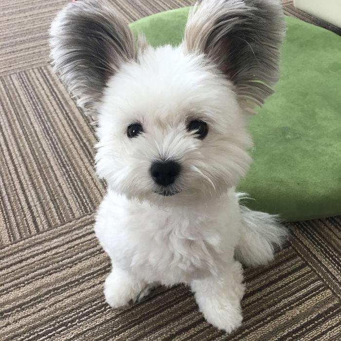 狗狗天生擁「米老鼠耳朵」天然呆表情萌翻!洗澡卻變《冰原歷險記》喜德