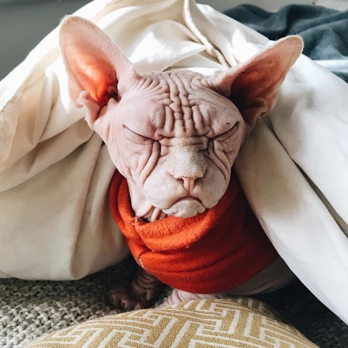 世界上最裸露貓咪「醜到已經變世界級可愛的存在」。主人:他治癒了我 (30張)