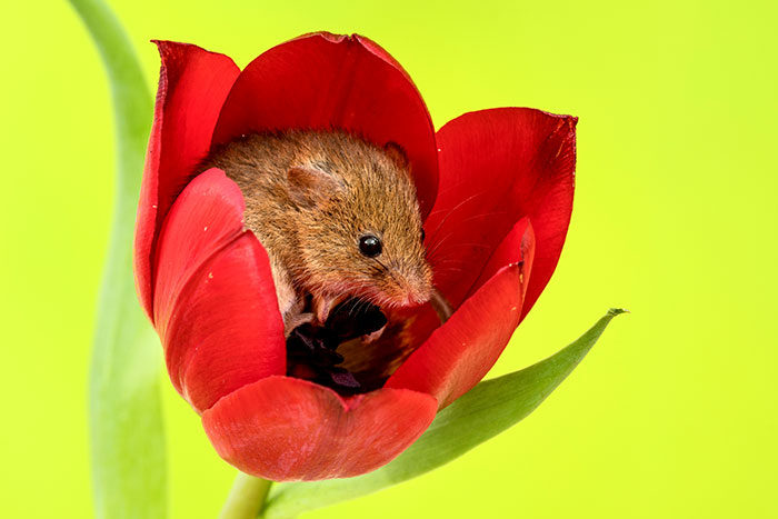 最可愛的採花大盜!攝影師拍下「會讓你瞬間紓壓」的最可愛採花小老鼠瞬間