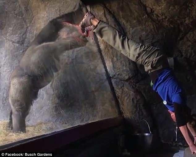 猩猩「神同步」飼養員每個動作 「隔著玻璃擁抱」太有愛