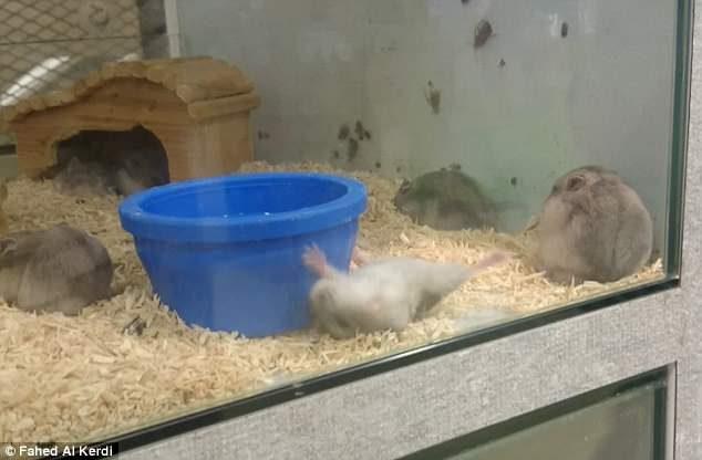 影帝小倉鼠表演「一秒裝死」 超戲劇性倒地:啊~我掛掉了~