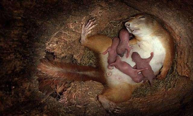 攝影機意外拍下「松鼠生產過程」  寶寶一個個蹦出全網看哭了