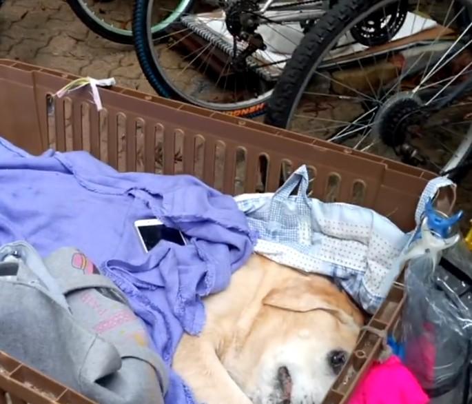 15歲拉拉走到狗生盡頭 女主人貼心做小推床「天天讓你看世界最棒的樣子」