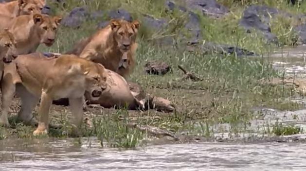 獅子王一對一單挑鱷魚!震耳獅吼VS血紅尖齒「結局太震撼」