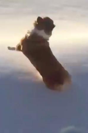 網路瘋傳「正妹將柯基從機上拋出」影片,網友差點報警卻被「墜地畫面」萌翻! (影片)