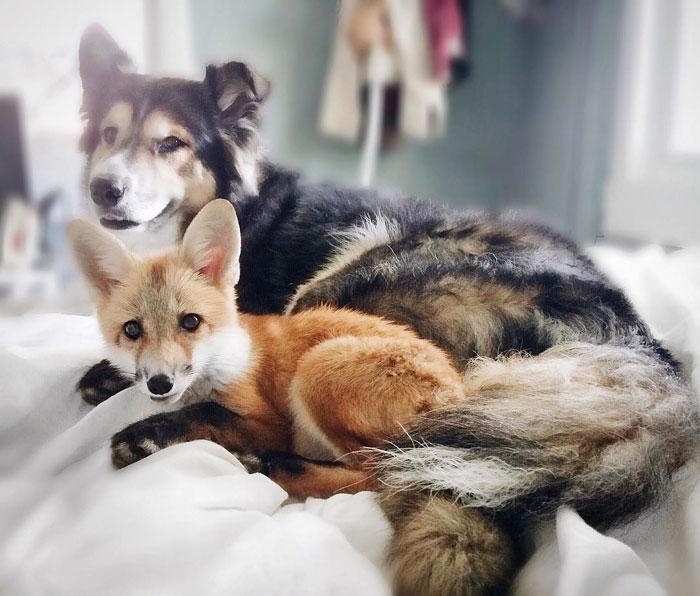 愛笑狐狸+帥男友牧羊犬「超有愛互動」太萌 200萬人瞬間被圈粉!