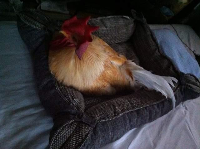 主人發現寵物雞「睡在暖爐前」再次查看驚覺「很不對勁」...網:悲劇了
