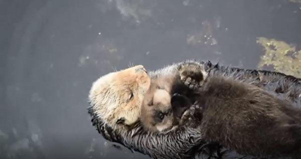 海獺媽慵懶浮水面上,懷中緊抱「獺生中最愛寶貝」一臉幸福樣讓網友都發出母性尖叫~(影片)