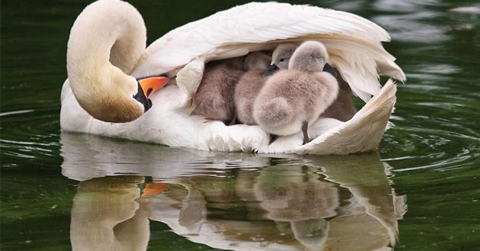 真正的天鵝船來囉~天鵝媽優雅滑過水面 羽翼打開小乘客開心跳水超Q