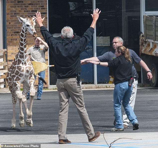 長頸鹿跨籠逛大街 工作人員冒冷汗狂追「她老大竟然自己回家」
