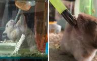 投胎錯了!小倉鼠「歌王式喝水法」超投入 瞇眼瞬間根本巨星登場
