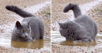 灰貓鍾愛「髒兮兮水池」當溫泉泡 網笑:你真的是貓嗎?