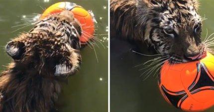 老虎怕熱跳水池叼皮球「耍酷賣萌」:老子當森林之王也hen累啊~