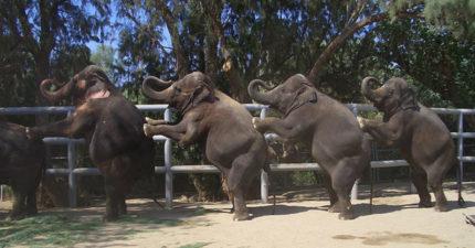 老實大象乖乖受訓成「馬戲團賺錢機器」 鞭子揮下瞬間眼角噴出眼淚