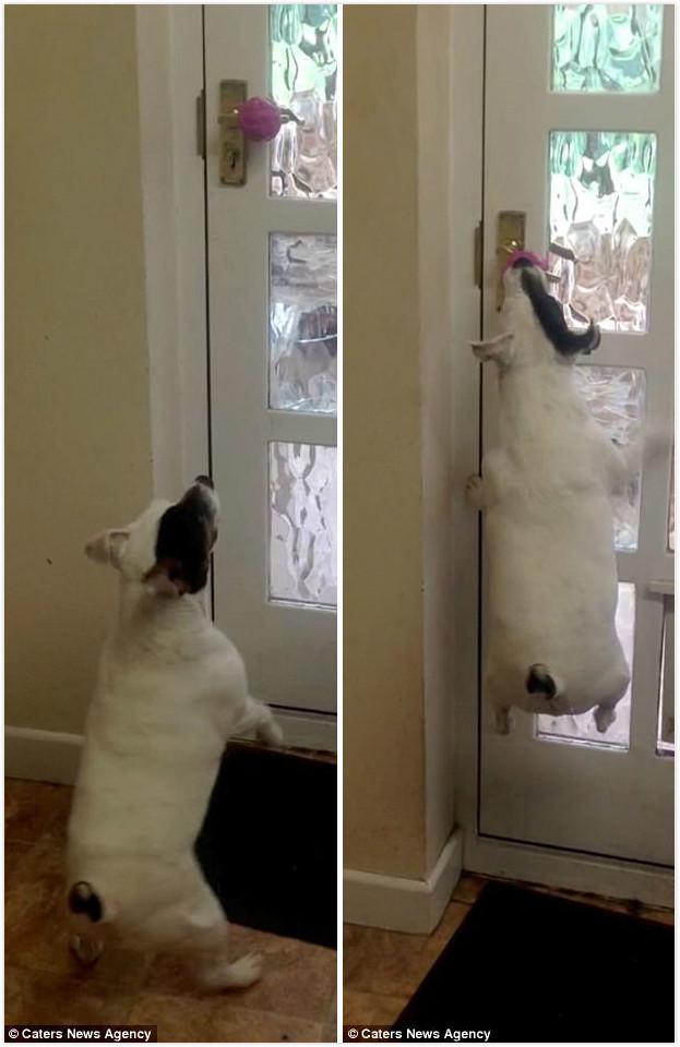 狗狗拚死拚活都要出去玩 「嘴咬門把」意外魔性Q彈