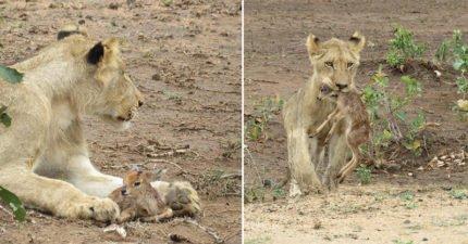 打破食物鏈極限!獅媽媽叼小羊以為是晚餐 下秒溫馨舔毛...旅客:我看到了什麼