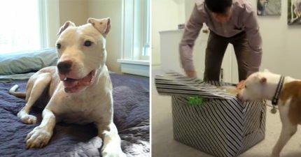 最萌比特犬!牠罹癌主人幫忙圓明星夢 收到全世界禮物開心到「尾巴停不了」