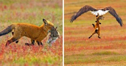 狐狸VS老鷹上演空中搶食大戰 最後結局太戲劇性!