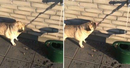 為何本汪還是很渴!傻狗喝「影子水」 主人狂笑:母湯阿捏喔~