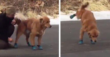 狗狗第一次穿鞋子!汪汪:我...我沒辦法走路了QQ