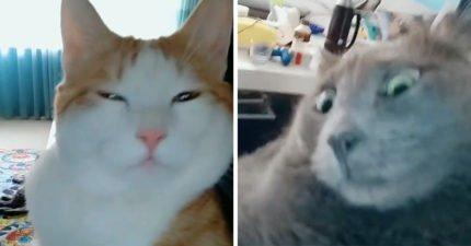 貓咪也愛玩抖音?萌萌貓瞬間變黑道 網:是跨X小的表情