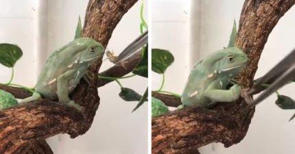 脾氣暴躁的妙蛙種子 怒把蟋蟀往後拋:老子吃膩這個了!